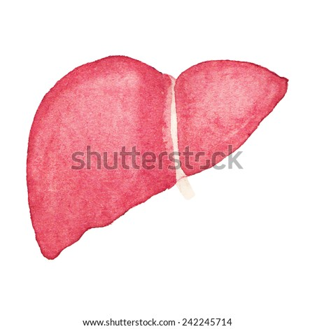 Watercolor realistic human liver on the white background, aquarelle.  Vector illustration. Hand-drawn pattern useful for invitations, scrapbooking, design. - stock vector
