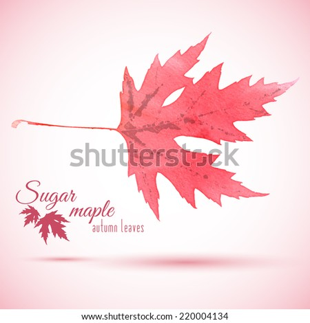Watercolor red autumn leaf of Sugar maple (Acer saccharum). Vector illustration with badge.