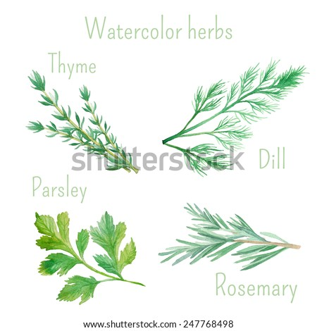 Watercolor set of vector illustrations of herbs and spices: rosemary, dill, parsley, thyme. Vector hand drawn botanical illustrations  - stock vector