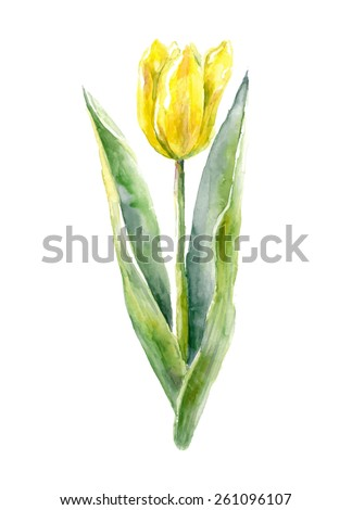 Watercolor tulip.  Vector illustration.