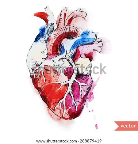 Watercolor Vector Abstract Drawing Human Heart Stock Vector Royalty