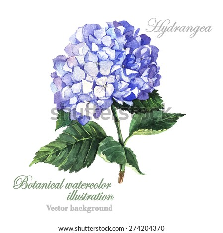 Watercolor vector Blue  Hydrangea. Watercolor illustration of a blue hydrangea blossom hand painted.  - stock vector