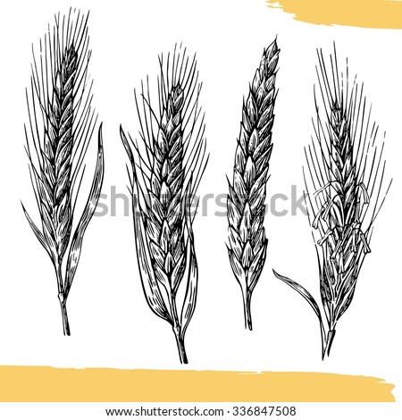 Wheat ears. Black and white color. Bakery sketch. Mill, Wheat field, Ears.  Vintage vector hand drawn engraving illustration. For label, badges, poster, web, icon. - stock vector