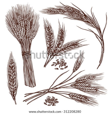 Wheat ears cereals crop sketch decorative icons set isolated vector illustration - stock vector