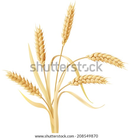 Wheat ears tuft isolated on white. - stock vector