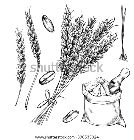 Wheat, rye and barley isolated on white background. Vector wheat. Engraved style. Grain vector isolated. Harvest. Engraved wheat. Organic food. Farmers product. Agriculture product. Wheat vector. - stock vector