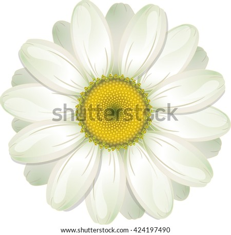 White Daisy, isolated on white, vector illustration, eps-10 - stock vector
