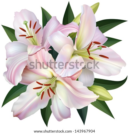 White Lily Isolated on White Background. Vector Illustration