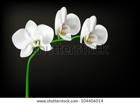 white orchid isolated on black - stock vector