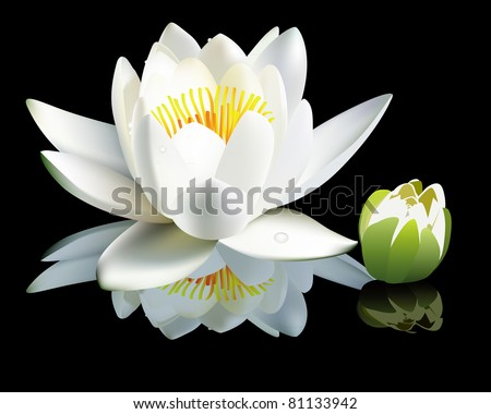 white water-lily flower and bud on a black background - stock vector