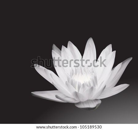 White Water Lily on Pond. Design Background - stock vector