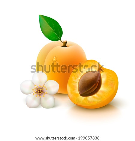 Whole apricot with leaf, slice with pit and flower isolated on white background. Vector illustration.