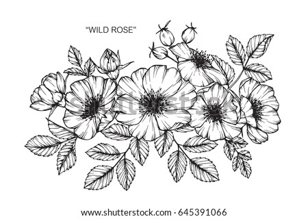 Wild rose flowers drawing sketch lineart stock photo photo vector wild rose flowers drawing and sketch with line art on white backgrounds mightylinksfo Image collections