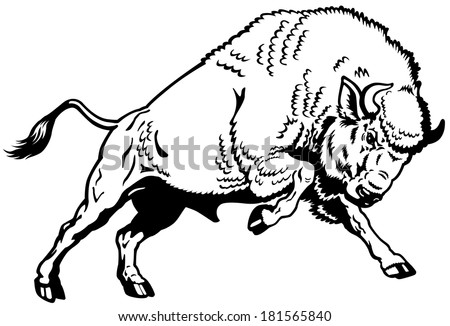 wisent european bison,attacking pose, black and white side view image
