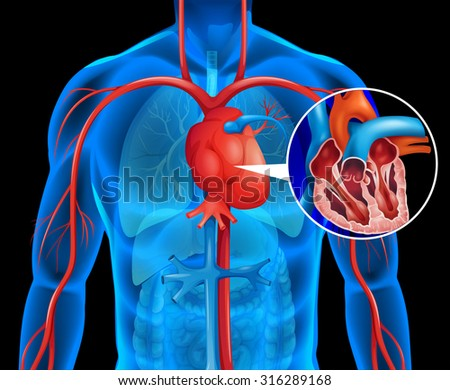 Xrays of human heart illustration - stock vector