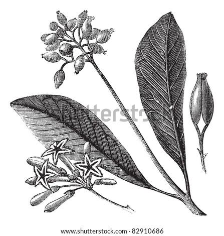 Yellow bark (Cinchona Calisaya) or Quina, vintage engraved illustration. Cinchona Calisaya on white. Trousset encyclopedia (1886 - 1891). - stock vector