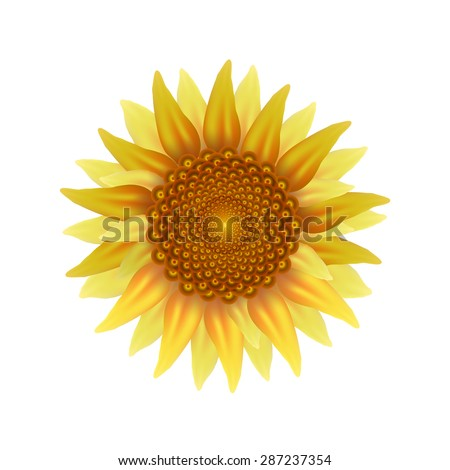 Yellow-brown sunflower on a white background.