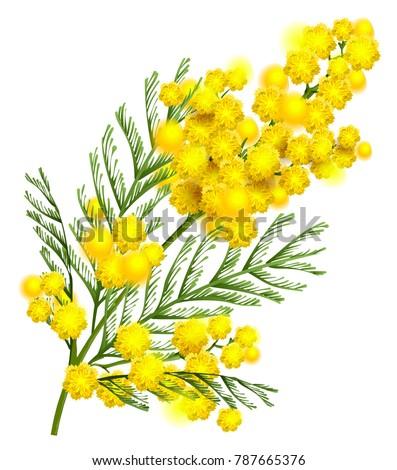 yellow mimosa flower branch symbol spring immagine