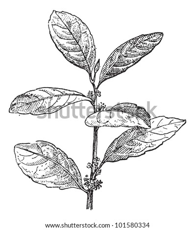 Yerba Mate or Ilex paraguariensis, vintage engraved illustration. Dictionary of Words and Things - Larive and Fleury - 1895 - stock vector