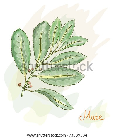 Yerba Mate. Watercolor style. Vector illustration. - stock vector