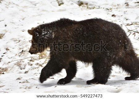 young bear in nature reserve Bawarian forest in German	0