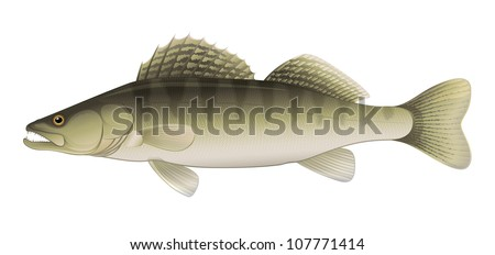 """Zander Perch (Sander lucioperca) Freshwater Fish """"Full compatible Vector. Created with gradients."""" - stock vector"""