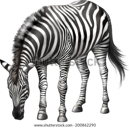 zebra bent down eating grass . Vector isolated on white background - stock vector