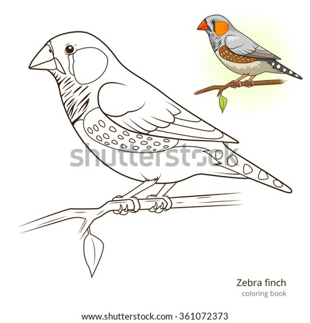 Zebra finch bird learn birds educational game coloring book vector illustration