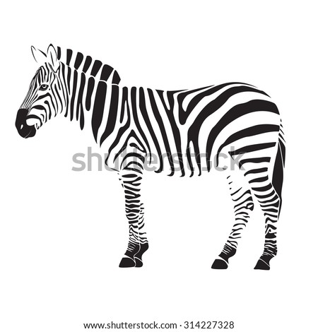 zebra illustration vector on white background - stock vector