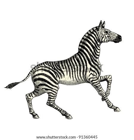"""Zebra - vintage engraved illustration - """"Histoire naturelle"""" by Buffon and Lacepe  ed. Alfred Mame - Tours 1881 - stock vector"""
